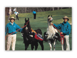 Llama caddies at Talamore's Resort Course